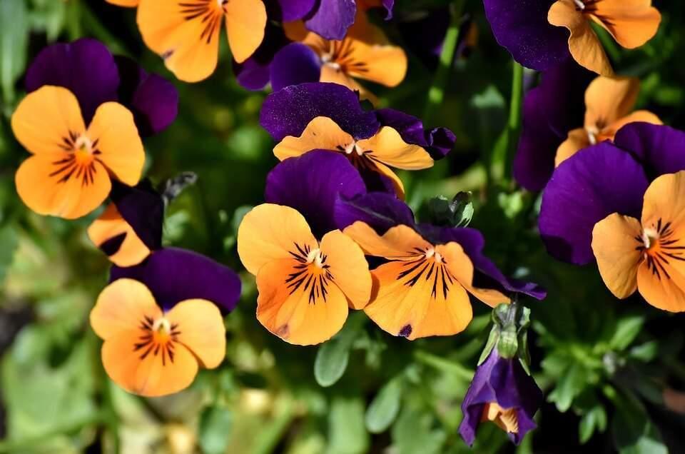 De no máximo 15 cm de altura, essas flores germinam melhor em baixas temperaturas, o que a torna perfeita para ter em um vaso em cima do aparador, ou floreira dentro de casa. Ah, quase esqueci! Sabe o que é mais legal? Além de comestíveis servem para decorar muitos pratos.