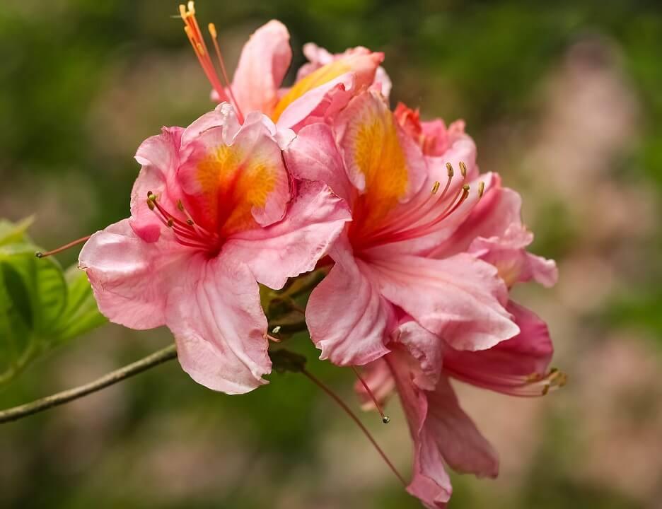 Azaléias do inverno e verão florescem o ano todo.